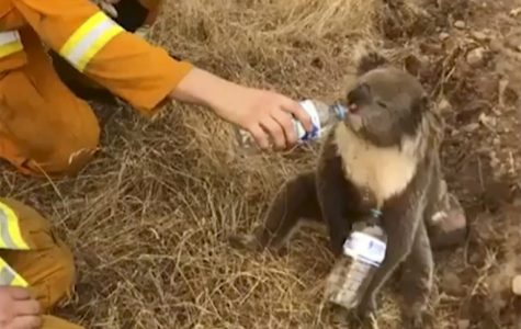 A rescue worker gives water to a koala during the Australian wildfires.